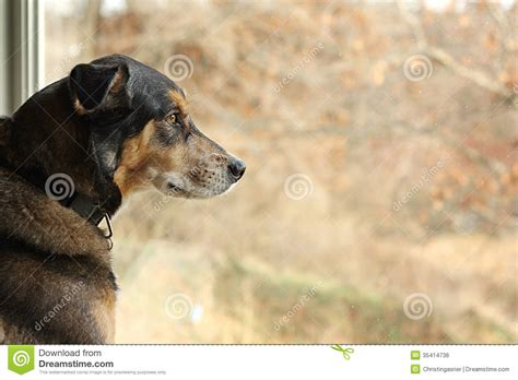 german shepherd mix dog   window stock photo image   breed