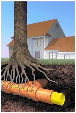 Major Plumbing Problem Tree Root vs Sewer LinePlumbing