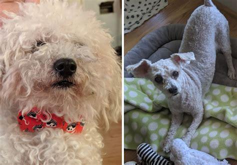 grooming fails  hilariously failed dog haircuts  quarantine earth wonders