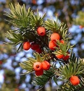 Strauch Mit Roten Beeren Im Winter : hecken heckenpflanzen ~ Frokenaadalensverden.com Haus und Dekorationen