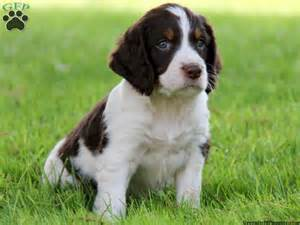 english water spaniel puppies funny puppy dog pictures