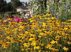 Sonnenhut Pflanze Kaufen : pr chtiger sonnenhut rudbeckia fulgida var speciosa baumschule horstmann ~ Buech-reservation.com Haus und Dekorationen