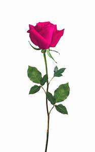Picture Of Pink Rose - Cliparts.co