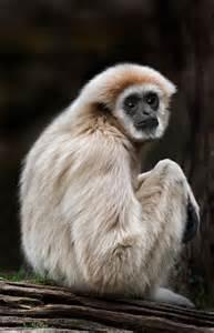 Lar Gibbon Monkey