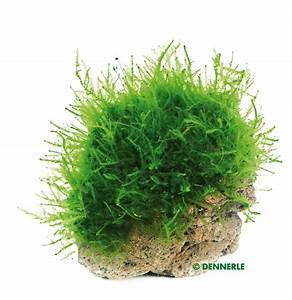 Pflanzen Auf Stein : nano stone pflanzen auf stein pflanzen ihr onlineshop f r aquaristik ~ Frokenaadalensverden.com Haus und Dekorationen
