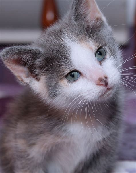 Dilute Calico A Truly Ethereal Cat Coloring