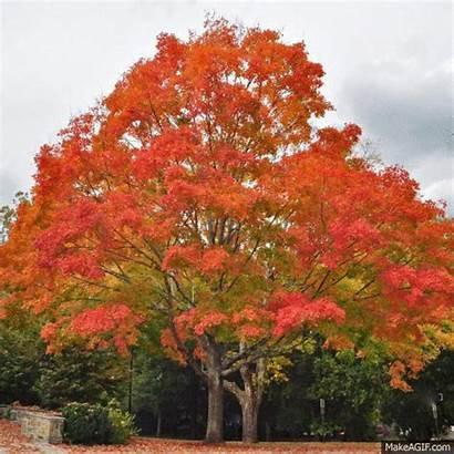 Leaves Fall Falling Gifs Tree Maple Sun