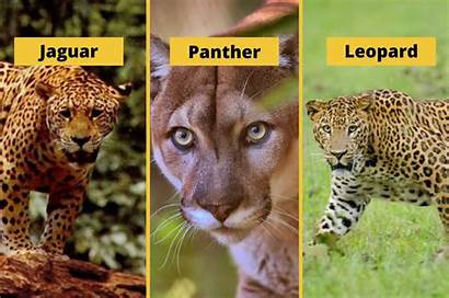 Leopard Difference Panther Jaguar Between Whats Know