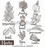 Herbs Coloring Pages Spices Herb Drawing Thyme Herbal Shutterstock Illustration Culinary Food Sketchite Results Sketches Pic Doodle sketch template