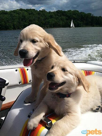 212 Best Images About Golden Retriever Puppies On