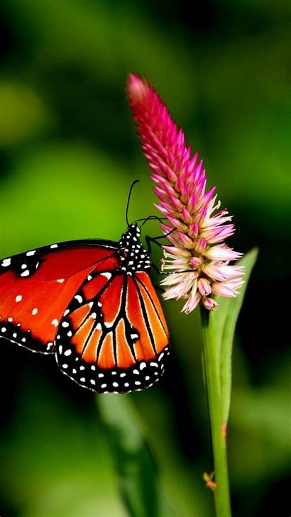 Butterfly Flower Butterflies Wallpapers Plant Nature Insects