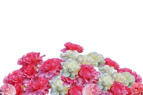photo cloves flowers carnation pink blossom bloom