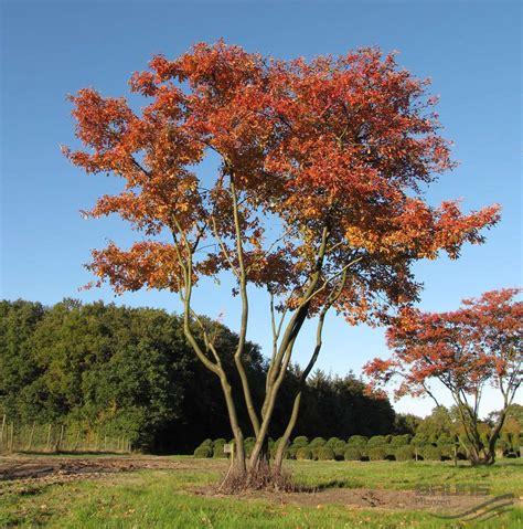amelanchier lamarckii f g schroeder kupfer felsenbirne pflanzen null bruns website