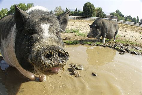 pig   mud stock photo freeimagescom