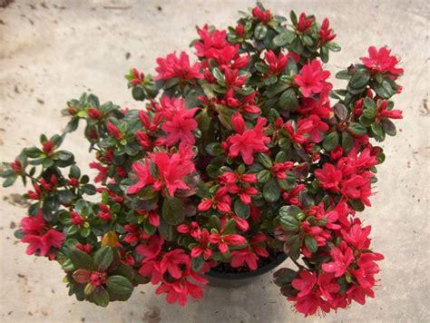 azalea japonica hino crimson azal 233 e japonaise arbuste
