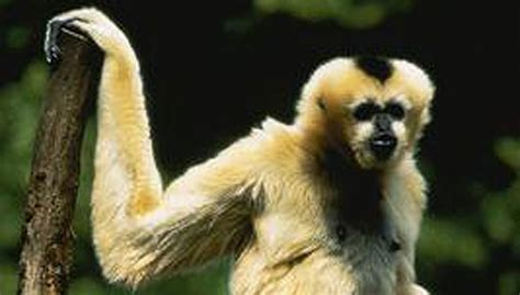 amazing facts  gibbons onekindplanet animal