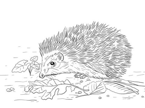 east european hedgehog coloring page supercoloringcom