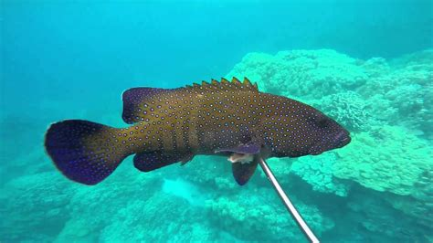 roi hawaii groupers kona predators peacock native hi spearfishing