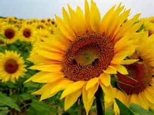 flower petals helianthus annuus sunflower world of flowering plants
