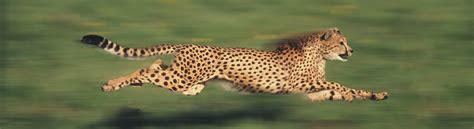 op cheetah safari  toch niet max vandaag