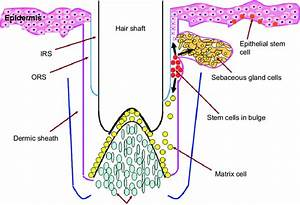 Schematic Diagram Showing The Epidermal Stem Cell In The