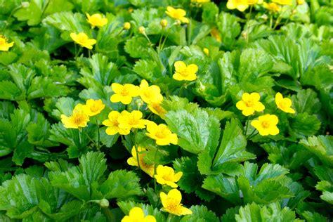 bodendecker gelb blühend wintergr 252 ne stauden und gr 228 ser mein sch 246 ner garten