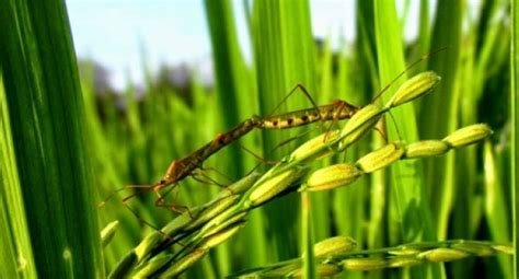 hama walang sangit menyerang tanaman padi ketika fase