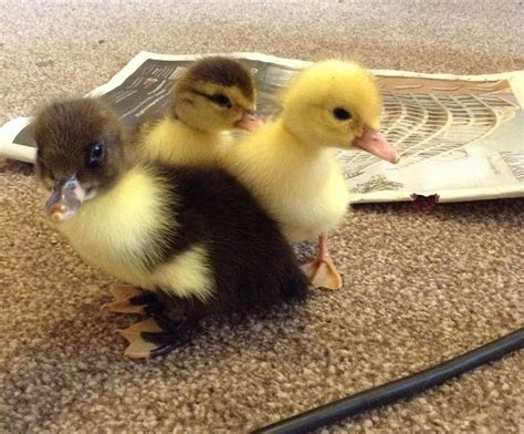 heat l for ducklings adorable muscovy ducklings for sale market harborough