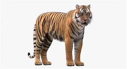 Tiger Realistic Fur Turbosquid Rigged Animals Hq
