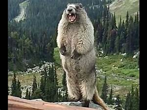 Funny Marmot Screaming Vines Compilation 2016 Marmot