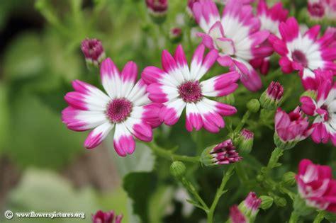pictures of flowers senecio cruentus picture 5