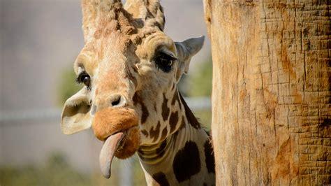 Giraffe Wallpapers Hd 1080p For Desktop Mobile Great
