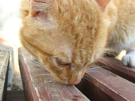 Fire Red Yellow Eyed Cat Russian Cats Pictures