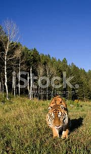 Siberian Tiger Lays Down BY The Forest Edge Stock Photos ...