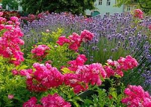 Rosen Und Lavendel : 39 westzeit 39 beetrose und blau bl hende rosenbegleitpflanzen ~ Yasmunasinghe.com Haus und Dekorationen