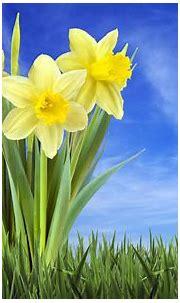 3D Narcissus Flower Wallpaper HD – Background Wallpaper HD