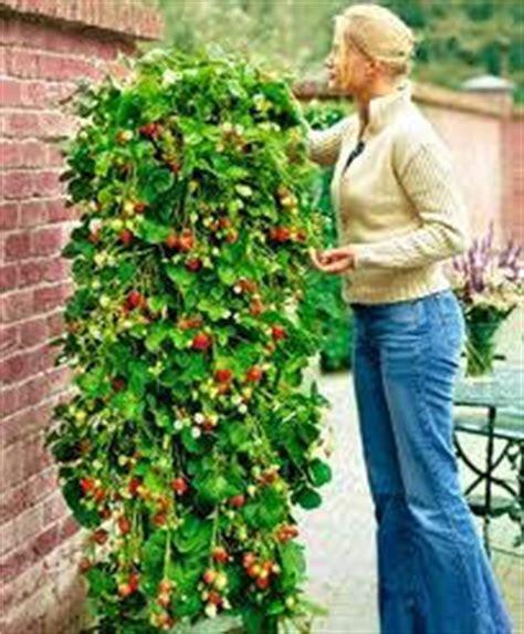 fraisier grimpant fraisiers grimpants