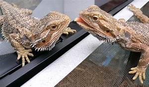 new to this • Bearded Dragon . org