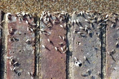 flying ants in bathroom uk what is flying ant day 2016 and how to get rid of flying