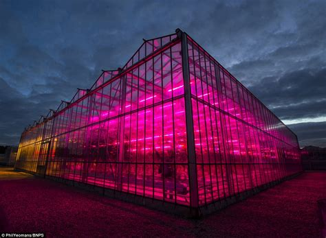 greenhouse led grow lights yellow and purple greenhouse could boost plant growth with