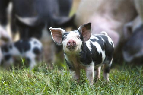 pig pigs breeds farm human run animal choose organ transplant shortage organic chicken funny predators crispr horses fast thespruce techcrunch
