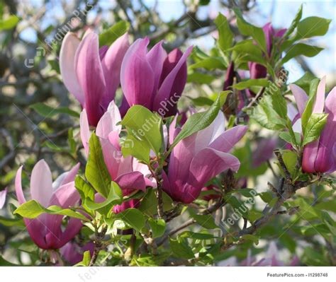 flowers japanese magnolia stock picture