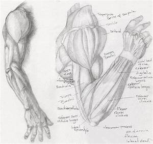 1000+ images about Drawing Tutorials: Bones & Muscles ...