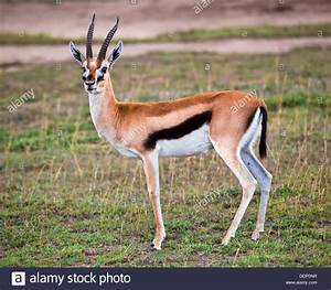 Thomson's gazelle (Eudorcas thomsonii) in the Serengeti ...