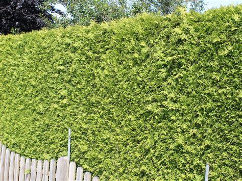 Smaragd Oder Brabant by Lebensbaum Brabant Thuja Occidentalis Brabant