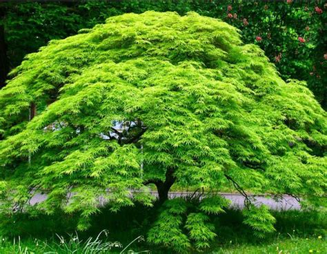 green weeping japanese maple japanese maple emerald lace 13 quot pot hello hello plants garden supplies