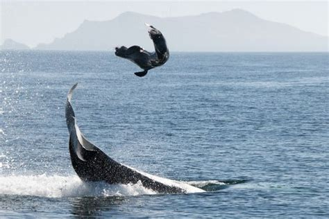 Orca Whale Attacks Fishing Boat In Alaska by Killer Whales Targeting Sea Lions Off Southern California