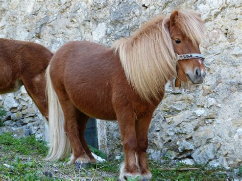 shetland pony breed guide ponies breeds horse horsemart