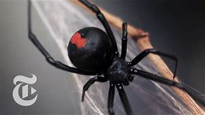 An Encounter With A Black Widow Spider