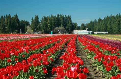tulip farms in usa tulip farm forest grove oregon usa